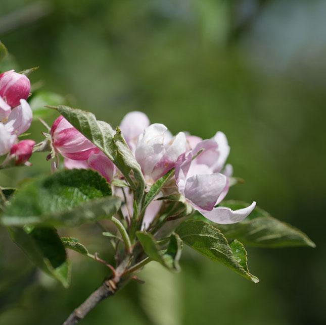 Zur Apfelblüte